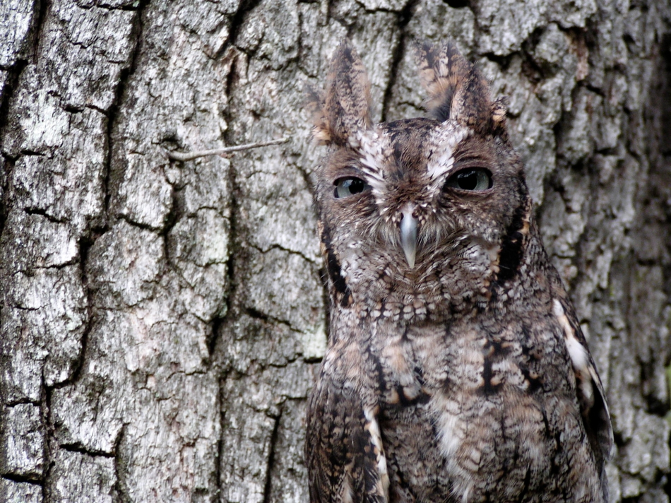 ScreechOwl-Camouflage-copy